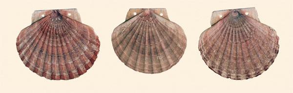 Jakobsmuschel III