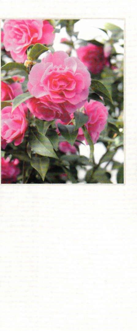 Kalenderrückwand (Kamelienblüten) für den Liturgischen Abreißkalender