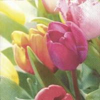 Tulips Meoldies